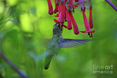 Photograph - Humming Bird by Rick Bures