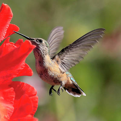Photograph - Humming Flight by Steve McKinzie
