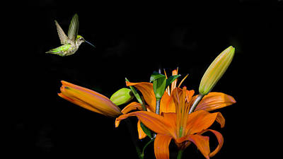 Photograph - Hummingbird Looking For Nectar by Kenneth Cole