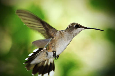 Photograph - Hummingbird 04 - 9-13 by Barry Jones