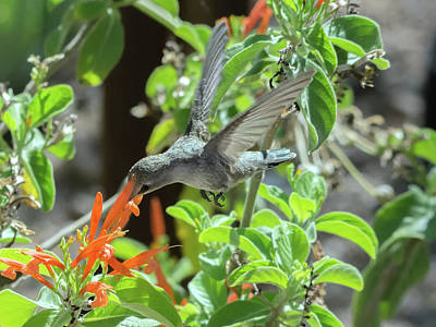 Photograph - Hummingbird 0446 by Tam Ryan