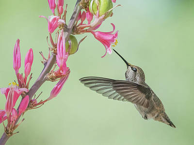 Photograph - Hummingbird 0553-051318-1cr by Tam Ryan