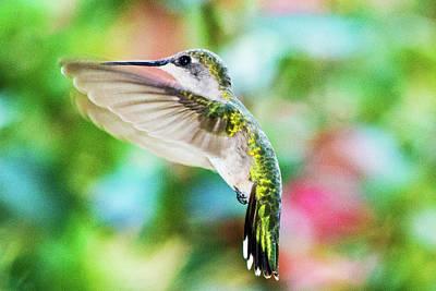 Photograph - Hummingbird 06 - 9-13 by Barry Jones