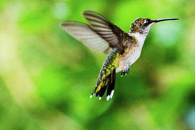 Photograph - Hummingbird 09 - 9-13 by Barry Jones