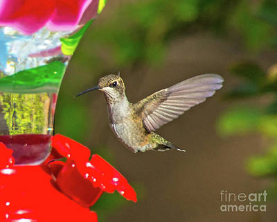 Photograph - Hummingbird 1 by Steve Whalen
