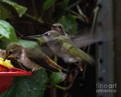 Photograph - Hummingbird 11 by Christy Garavetto
