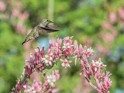 Photograph - Hummingbird 1185 by Tam Ryan