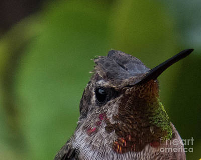 Photograph - Hummingbird 13 by Christy Garavetto