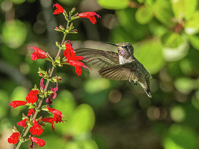 Photograph - Hummingbird 1793 by Tam Ryan