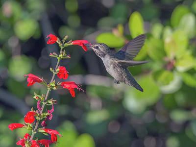 Photograph - Hummingbird 1795 by Tam Ryan