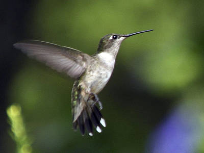 Hummingbird 2 Art Print by Fred Baird