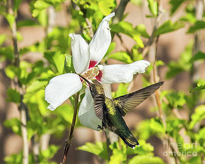Photograph - Hummingbird 2 by Steve Whalen