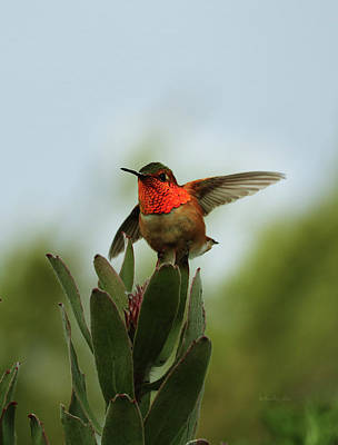 Photograph - Hummingbird 2 by Xueling Zou