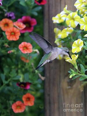 Photograph - Hummingbird 2736 by Jack Schultz