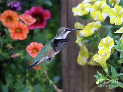 Photograph - Hummingbird 2739 by Jack Schultz