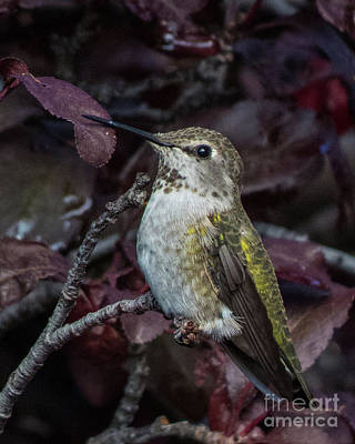 Photograph - Hummingbird 4 by Christy Garavetto