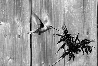 Photograph - Hummingbird 51 by David Stasiak