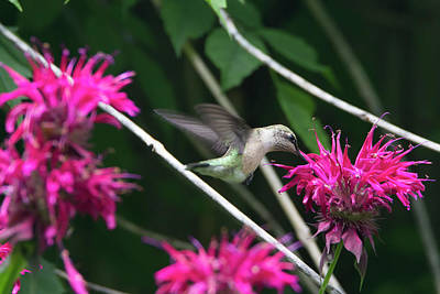 Photograph - Hummingbird 52 by David Stasiak