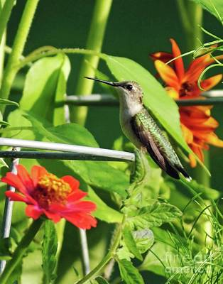 Photograph - Hummingbird 53 by Lizi Beard-Ward