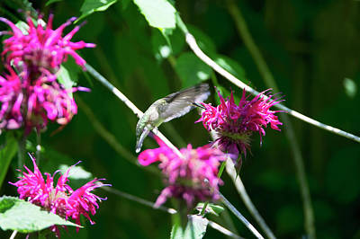 Photograph - Hummingbird 54 by David Stasiak