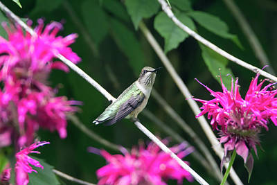 Photograph - Hummingbird 55 by David Stasiak