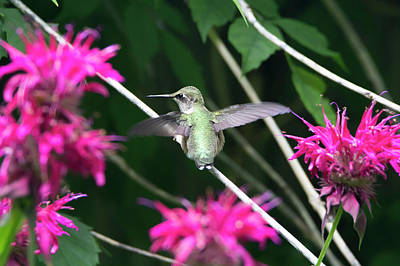 Photograph - Hummingbird 56 by David Stasiak