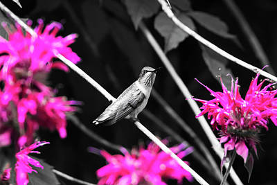 Photograph - Hummingbird 57 by David Stasiak