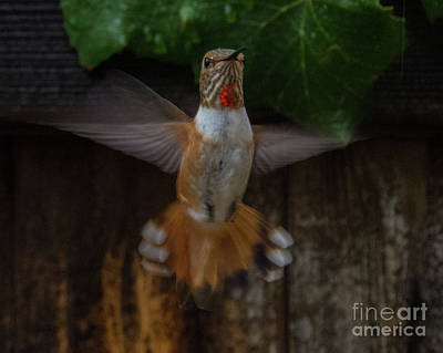 Photograph - Hummingbird 6 by Christy Garavetto