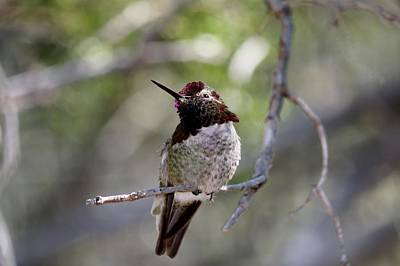 Photograph - Hummingbird - 6 by Christy Pooschke