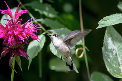 Photograph - Hummingbird 64 by David Stasiak