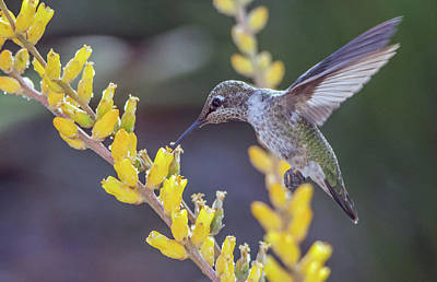 Photograph - Hummingbird 6750-041818-1cr by Tam Ryan