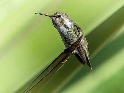 Photograph - Hummingbird 7484-101017-2cr by Tam Ryan