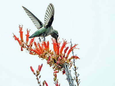Photograph - Hummingbird 7642 by Tam Ryan