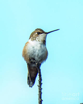 Photograph - Hummingbird 8 by Christy Garavetto