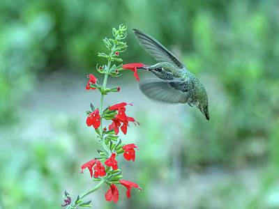 Photograph - Hummingbird 8673 by Tam Ryan