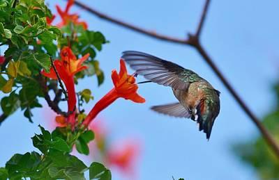 Allens Hummingbird Photograph - Hummingbird Acrobat II by Linda Brody