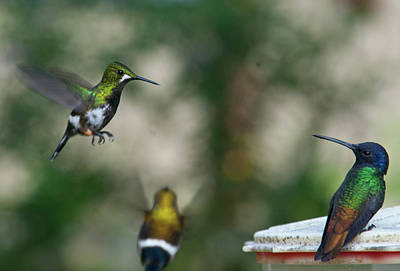 Photograph - Hummingbird Activity All Around by Cascade Colors
