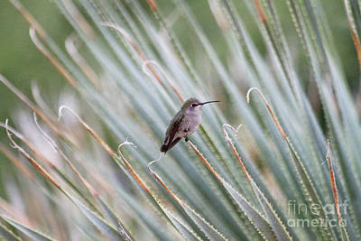 Photograph - Hummingbird Among The Agave by Ruth Jolly