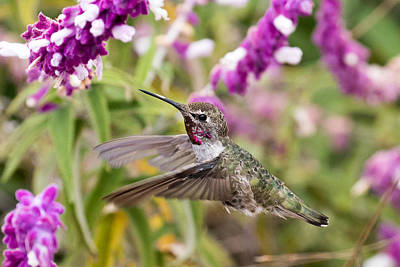 Photograph - Hummingbird Amongst The Flowers by Phil Stone
