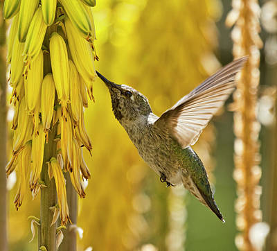 Photograph - Hummingbird Amongst The Spring Gold  by Saija Lehtonen