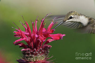 Photograph - Hummingbird And Bee Balm by Robert E Alter Reflections of Infinity