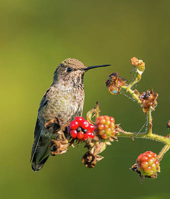Photograph - Hummingbird And Blackberries by Loree Johnson
