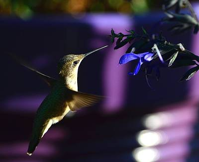Photograph - Hummingbird And Blue Flower by Kathy Eickenberg