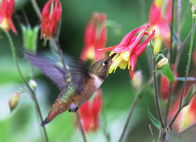 Photograph - Hummingbird And Columbine by Angie Vogel