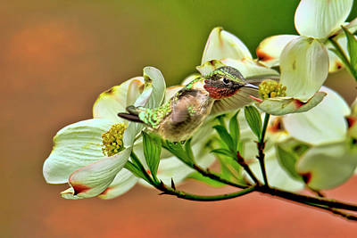 Florescent Lighting Photograph - Hummingbird And Dogwood Blossoms by Geraldine Scull