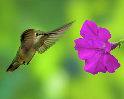 Photograph - Hummingbird And Flower by Allin Sorenson