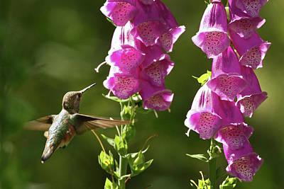 Photograph - Hummingbird And Foxglove by Inge Riis McDonald