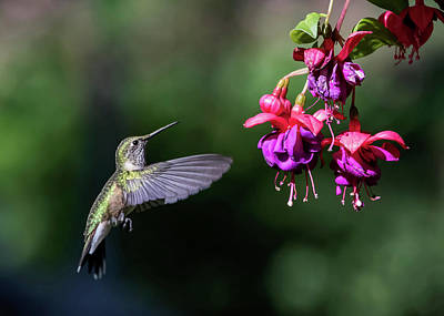 Photograph - Hummingbird And Fuscia by Dawn Key