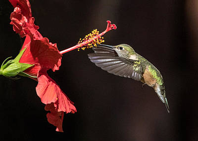 Broad Tail Photograph - Hummingbird And Hibiiscus by Dawn Key