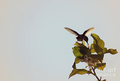 Flutter Photograph - Hummingbird And Lemon Blossoms by Cindy Garber Iverson